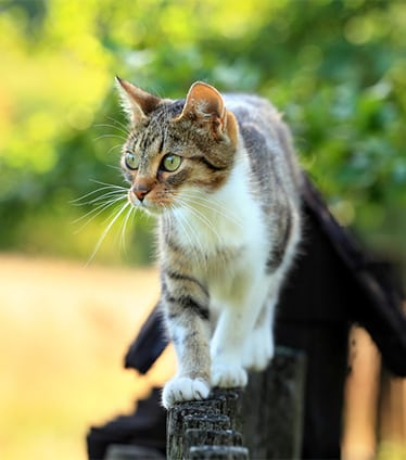 Summer Pet Safety in Monroeville: Cat Walking on Fence